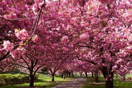 japan-cseresznyeviragzas